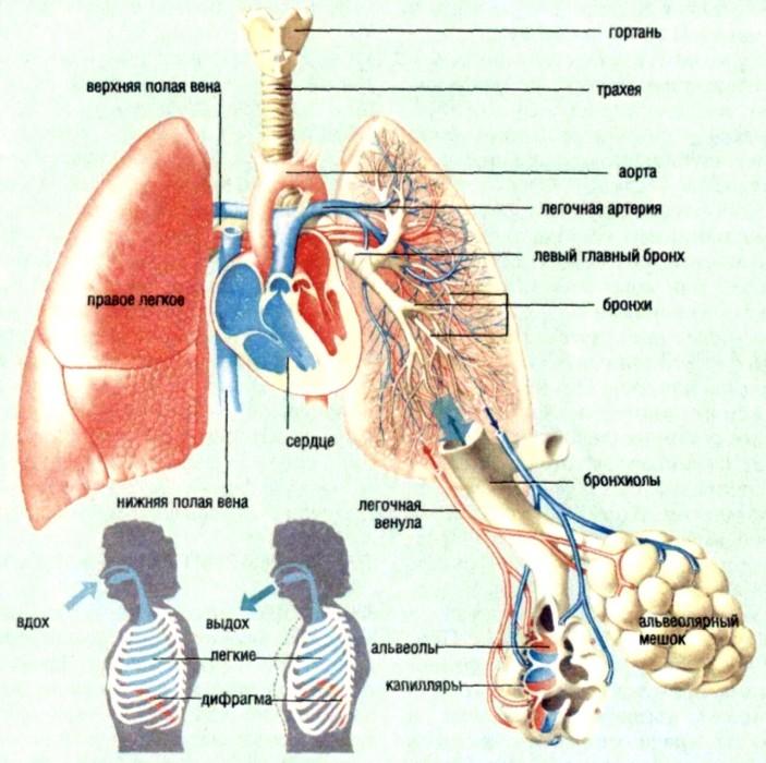 Физиологическая роль углекислоты и работоспособность человека